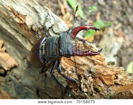 Male Horn-beetle