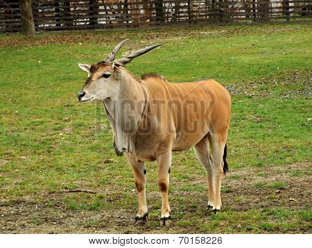Common Eland (taurotragus Oryx)