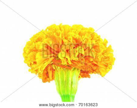 Orange Marigold (tagetes) Flower Isolated