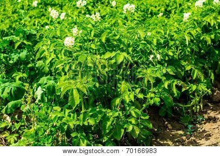 potato field and sunny summer day