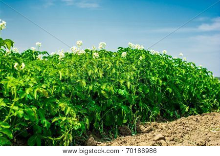 potatoes field and sunny summer day