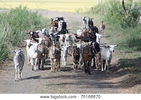Goats on Roadway