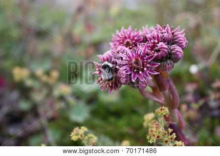 Saxifrage Plant And Bee