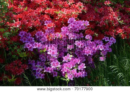 Red and violet azalea
