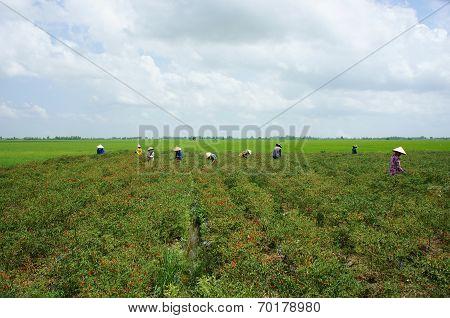 Farmer Pick Chilli Pepper On Capsicum Garden