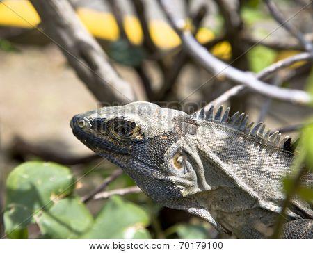 Land iguana (Iguana iguana)