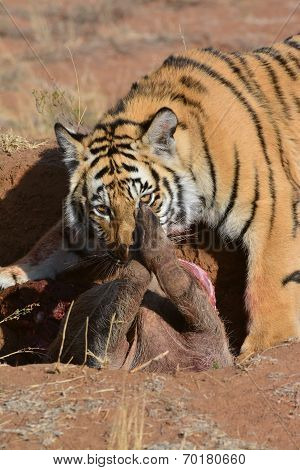Young tiger with its prize
