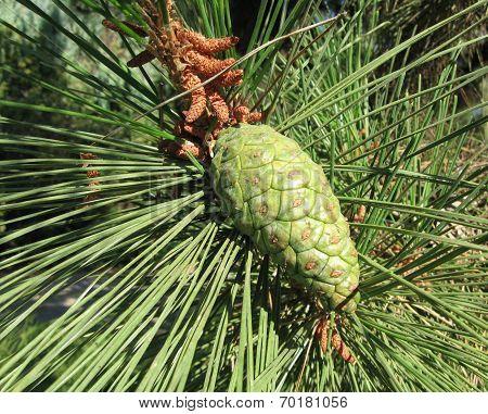 green pine cone