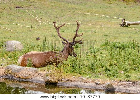 Wapiti Male Sleeping In A Park