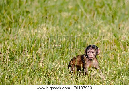 Berber Baby Monkey On A Field
