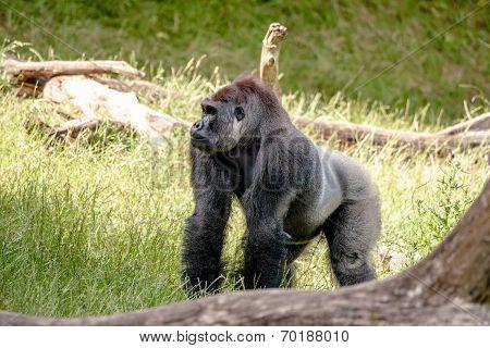 Big Gorilla In The Grass