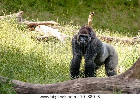 Big Gorilla Looking At You