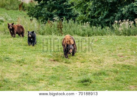 Family Of American Black Bears