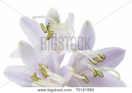 Hosta (funkia Or Plantain Lily) Flower On White Background
