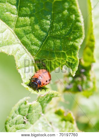 Colorado Potato Beetle Larva In Potatoes Leaves