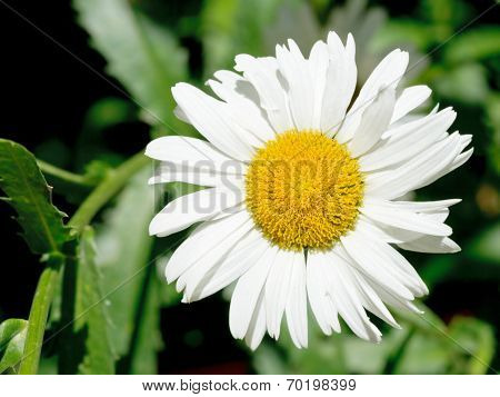 Ox-eye Daisy Flower Close Up On Green Meadow