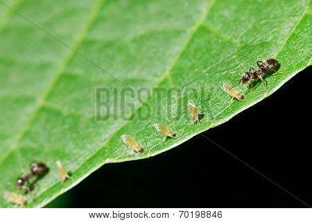 Two Ants Grazing Few Aphids On Leaf