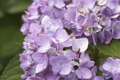 stock photo of hydrangea  - Hydrangea flower Beautiful purple and pink hydrangea flowers closeup in the garden - JPG