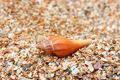 image of conch  - Orange Conch Shells on sandy beach - JPG