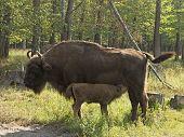 picture of aurochs  - mother European bison  - JPG