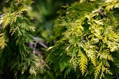 image of juniper-tree  - Branches of juniper the evergreen coniferous plant with scale - JPG