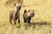 picture of hyenas  - Young hyenas  - JPG