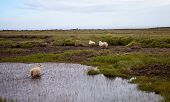 foto of iceland farm  - Icelandic sheep with large horns in a meadow - JPG
