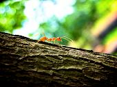 stock photo of fire ant  - Red fire ant on branch found in Cambodia - JPG
