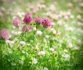 image of red clover  - Flowering red clover in meadow, red clover blooming in spring