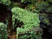 stock photo of lichenes  - Green lichen on the roten tree stupm - JPG