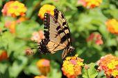 stock photo of zinnias  - Yellow Tiger Swallowtail butterfly  - JPG
