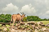 foto of eland  - Eland antelope standing in beautiful nature in Africa - JPG