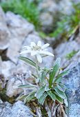 stock photo of edelweiss  - Edelweiss (Leontopodium alpinum) in natural environment in summer