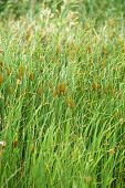 foto of cattail  - Typha latifolia - JPG