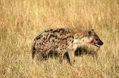 pic of spotted dog  - Portrait shot of the sneaky spotted hyena - JPG
