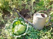 foto of water cabbage  - watering can and cabbage in garden in summer day - JPG