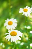 pic of oxen  - few decorative Ox-eye daisy flowers on green meadow