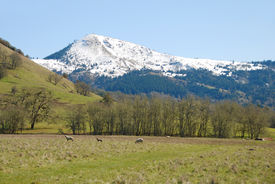 pic of suffolk sheep  - Spring lambs and sheep in a pasture in the Umpqua Valley near Roseburg - JPG