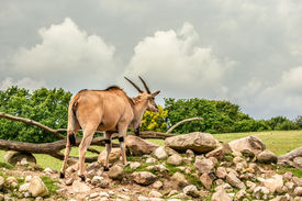picture of eland  - Eland antelope standing in beautiful nature in Africa - JPG