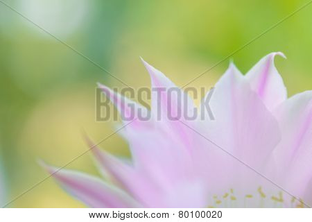 Closeup Image of Beautiful Pink Cactus Flower on the Green Background