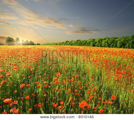 Summer sunset over field with red poppies