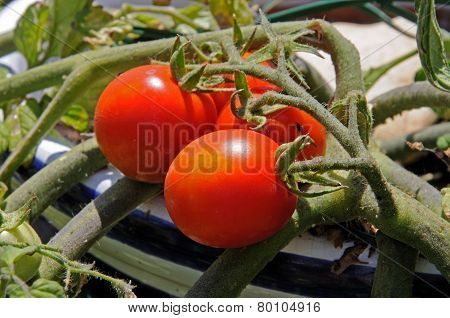 Ripe tomatoes on a plant.
