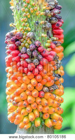 Fruit Of Amorphophallus Campanulatus