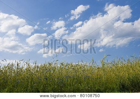 Ripening Rye In The Field Of Summertime