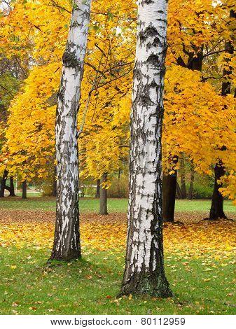 birches in the autumn park