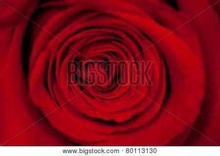 beautiful red rose closeup