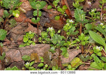 Chickweed (Stellaria holostea) flower