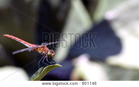 Red Dragonfly Close-Up