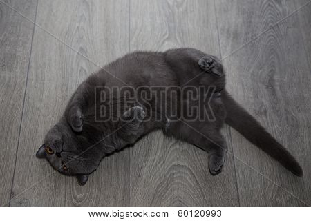 British shorthair cat on a laminate flooring