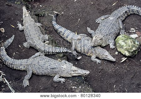 Crocodiles in the safari park Indonesia